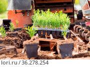 Closeup parts of machine for authomatic planting. White cedar seedlings... Стоковое фото, фотограф Zoonar.com/OKSANA SHUFRYCH / easy Fotostock / Фотобанк Лори
