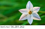 Closeup of white spring flower Ipheion uniflorum. Стоковое фото, фотограф Zoonar.com/Hilda Weges / easy Fotostock / Фотобанк Лори