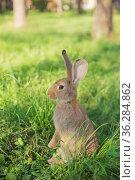 Молодой кролик стоит на задних лапах в зеленой траве. Стоковое фото, фотограф Galina Oleksenko / Фотобанк Лори