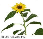 Sunflower (Helianthus),  houseplant, on white background. Стоковое фото, фотограф Валерия Попова / Фотобанк Лори