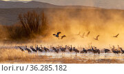 Sandhill cranes (Antigone canadensis) and Snow geese (Chen caerulescens) at sunrise, Bosque del Apache National Wildlife Refuge, New Mexico, USA, November. Стоковое фото, фотограф Jack Dykinga / Nature Picture Library / Фотобанк Лори