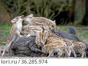 Wildschwein-Frischlinge auf dem Rücken der Bache (Sus scrofa), Schleswig... Стоковое фото, фотограф Zoonar.com/Stefan Ernst / age Fotostock / Фотобанк Лори