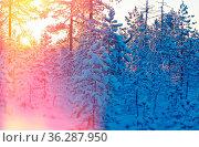 Winter snowy forest at sunset. Beautiful Christmas landscape. Стоковое фото, фотограф Zoonar.com/MYCHKO / easy Fotostock / Фотобанк Лори
