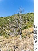 Засохший реликтовый можжевельник (Juniperus excelsa) в Крымских горах (2018 год). Стоковое фото, фотограф Сергей Рыбин / Фотобанк Лори
