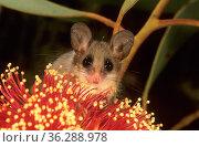 Western Pygmy-possum (Cercartetus concinnus) feeding on flowers of Large-fruited Mallee (Eucalyptus youngiana), Great Victoria Desert, Australia. Стоковое фото, фотограф Jiri Lochman / Nature Picture Library / Фотобанк Лори