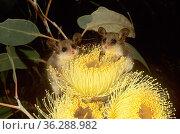 Western Pygmy-possums (Cercartetus concinnus) feeding on flowers of Large-fruited Mallee (Eucalyptus youngiana), Great Victoria Desert, Australia. Стоковое фото, фотограф Jiri Lochman / Nature Picture Library / Фотобанк Лори