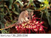 Western Pygmy-possum (Cercartetus concinnus) feeding on flowers of Grevillea (Grevillea georgeana), Helena Aurora Range proposed National Park, Australia. Стоковое фото, фотограф Jiri Lochman / Nature Picture Library / Фотобанк Лори