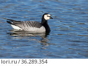 Barnacle Goose (Branta leucopsis), Norfolk, England, UK February. Стоковое фото, фотограф Robin Chittenden / Nature Picture Library / Фотобанк Лори