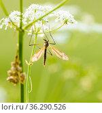 Большой комар долгоножка сидит на белом цветке. Стоковое фото, фотограф Игорь Низов / Фотобанк Лори