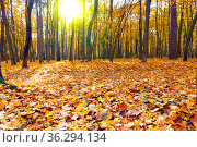 Autumn forest - Maple trees and yellow fallen leaves. Autumn landscape... Стоковое фото, фотограф Zoonar.com/Roman Sigaev / easy Fotostock / Фотобанк Лори