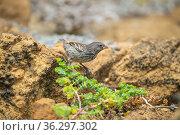Darwin's small ground finch (Geospiza fuliginosa), feeding on Chamacuche plant, Bainbridge Rocks, Galapagos Islands. Стоковое фото, фотограф Tui De Roy / Nature Picture Library / Фотобанк Лори