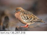 Galapagos dove (Zenaida galapagoensis), Espanola Island, Galapagos Islands. Island, Galapagos Islands. Стоковое фото, фотограф Tui De Roy / Nature Picture Library / Фотобанк Лори