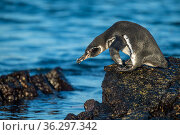 Galapagos penguin (Spheniscus mendiculus), adult plumage, entering the water, Isabela Island, Galapagos Islands. Стоковое фото, фотограф Tui De Roy / Nature Picture Library / Фотобанк Лори