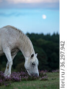 New Forest Pony (Equus caballus) with rising moon New Forest National Park, Hampshire, England, UK. August. Стоковое фото, фотограф Matthew Maran / Nature Picture Library / Фотобанк Лори