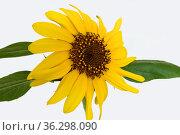 Beautiful Sunflower (Helianthus),  houseplant, on white background (makro) Стоковое фото, фотограф Валерия Попова / Фотобанк Лори