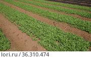 Growing organic arugula leaves on a farm field. Стоковое видео, видеограф Яков Филимонов / Фотобанк Лори