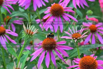 Лекарственное растение эхинацея пурпурная (лат. Echinacea purpurea) и шмель.