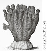 Porites mordax Dana. Old 19th century engraved illustration from ... Редакционное фото, фотограф Jerónimo Alba / age Fotostock / Фотобанк Лори