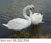 Mute swan (Cygnus olor). Pair of swans. Стоковое фото, фотограф Валерия Попова / Фотобанк Лори