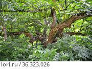 Лапина ясенелистная с зелеными соплодиями (Pterocarya fraxinifolia). Старовозрастное дерево. Стоковое фото, фотограф Ирина Борсученко / Фотобанк Лори