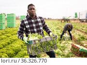 African farm worker carrying crates with frisee. Стоковое фото, фотограф Яков Филимонов / Фотобанк Лори