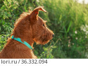 Gorgeous beautiful purebred young serious obedient hunting dog puppy Irish Terrier breed sits on the nature outdoors in summer on the grass, profile portrait. Стоковое фото, фотограф Светлана Евграфова / Фотобанк Лори