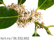 Holly (Ilex aquilium) male flowers, woodland, Herefordshire Plateau, England, focus stacked in controlled conditions. Стоковое фото, фотограф Will Watson / Nature Picture Library / Фотобанк Лори
