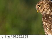 Little owl (Athene noctua) adult portrait, The Netherlands. Стоковое фото, фотограф Edwin Giesbers / Nature Picture Library / Фотобанк Лори