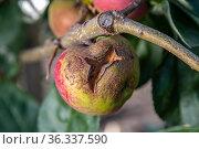 Fruits Infected by the Apple scab Venturia inaequalis and Brown Rot Monilia fructigena. Стоковое фото, фотограф Ольга Сейфутдинова / Фотобанк Лори