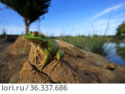 Growling grass frog (Litoria raniformis) basking on a stone at the edge of a rural dam at dusk in Donnybrook, Melbourne, Australia. Controlled conditions. Стоковое фото, фотограф Robert Valentic / Nature Picture Library / Фотобанк Лори