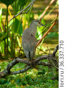 Black-crowned night-heron (Nycticorax nycticorax) juvenile standing on a branch above a cypress swamp, Audubon Corkscrew Swamp Sanctuary, Southwest Florida, USA. February. Стоковое фото, фотограф Steven David Miller / Nature Picture Library / Фотобанк Лори