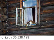 Кошка выглядывает наружу из окна деревянного дома в Кижах, Карелия, Россия. Стоковое фото, фотограф Natalya Sidorova / Фотобанк Лори