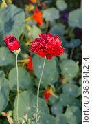 Красные махровые маки цветут в летнем саду. Стоковое фото, фотограф Елена Коромыслова / Фотобанк Лори