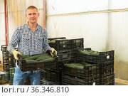 Man stacking crates with selected cucumbers. Стоковое фото, фотограф Яков Филимонов / Фотобанк Лори