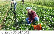 Group of gardeners picking harvest of fresh spinach at a farm on a sunny day. Стоковое видео, видеограф Яков Филимонов / Фотобанк Лори