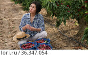 Asian woman working and eating cherry at the Cherry farm. Стоковое видео, видеограф Яков Филимонов / Фотобанк Лори
