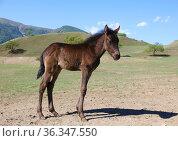 Little brown foal on a sunny summer day. Стоковое фото, фотограф Алексей Кузнецов / Фотобанк Лори