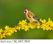 Goldfinch (Carduelis carduelis) on forsythia flower, UK, March. Стоковое фото, фотограф Andy Rouse / Nature Picture Library / Фотобанк Лори