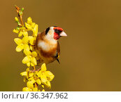 Goldfinch (Carduelis carduelis) on flowering forsythia, UK. Стоковое фото, фотограф Andy Rouse / Nature Picture Library / Фотобанк Лори