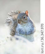 RF - Grey squirrel (Sciurus carolinensis) in frosty garden, Wales, UK. January. (This image may be licensed either as rights managed or royalty free.) Стоковое фото, фотограф Andy Rouse / Nature Picture Library / Фотобанк Лори
