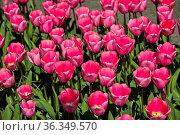 Pink-farbene holländische Tulpen, Lisse, Bollenstreek, Niederlande... Стоковое фото, фотограф Zoonar.com/Georg / age Fotostock / Фотобанк Лори
