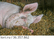 Schwein liegt im Stroh und schläft. Стоковое фото, фотограф Zoonar.com/Hans Eder / easy Fotostock / Фотобанк Лори