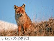 Prächtiger Rotfuchs Fuchs auf einer in Hochfläche in den Sibillinischen... Стоковое фото, фотограф Zoonar.com/Hans Eder / easy Fotostock / Фотобанк Лори