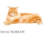 Beautiful big maine coon cat isolated on white background. Copy space. Стоковое фото, фотограф Zoonar.com/Svetlana Mandrikova (@Svetography) / easy Fotostock / Фотобанк Лори