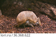 Southern three-banded armadillo (Tolypeutes matacus) runs on the ... Стоковое фото, фотограф Horst Lieber / age Fotostock / Фотобанк Лори