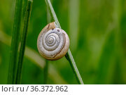 Beautiful macro of snail sleeping in shell on plant. Snail shell in... Стоковое фото, фотограф Zoonar.com/Eduard Zayonchkovski / easy Fotostock / Фотобанк Лори