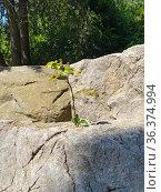 Деревце растет из расщелины в камне. Стоковое фото, фотограф Мария Кылосова / Фотобанк Лори