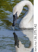 Trumpeter swan (Cygnus buccinator) preening, Firehole River, Yellowstone National Park, Wyoming, USA. Стоковое фото, фотограф Jack Dykinga / Nature Picture Library / Фотобанк Лори