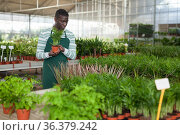 Florist cultivating potted Chamaedorea elegans. Стоковое фото, фотограф Яков Филимонов / Фотобанк Лори