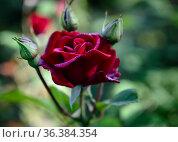 Dew drops on the petal of a dark red rose. Стоковое фото, фотограф Сергей Фролов / Фотобанк Лори